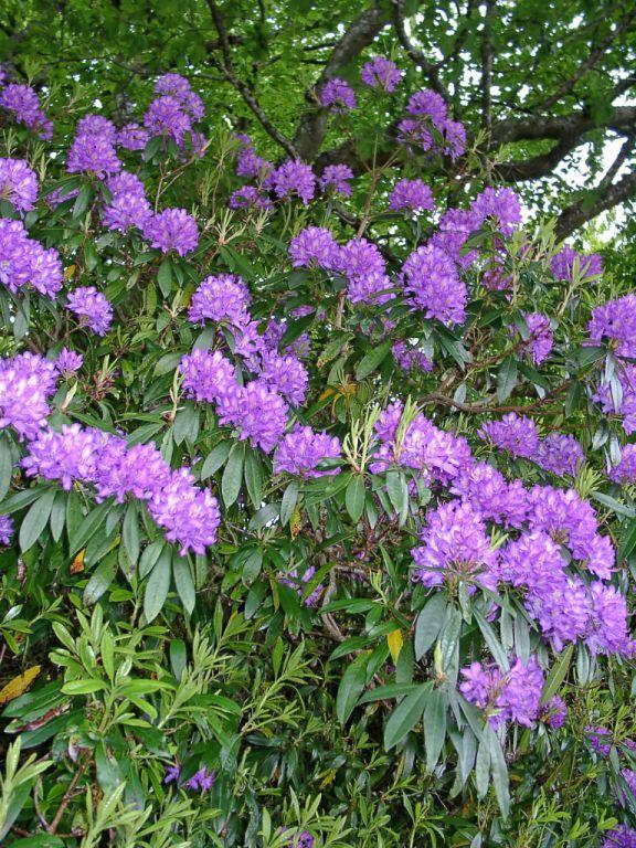 Rhododendron am Clan Ranald Hotel