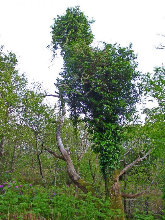 Überwachsener Baum