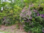 Rhododendronbüsche
