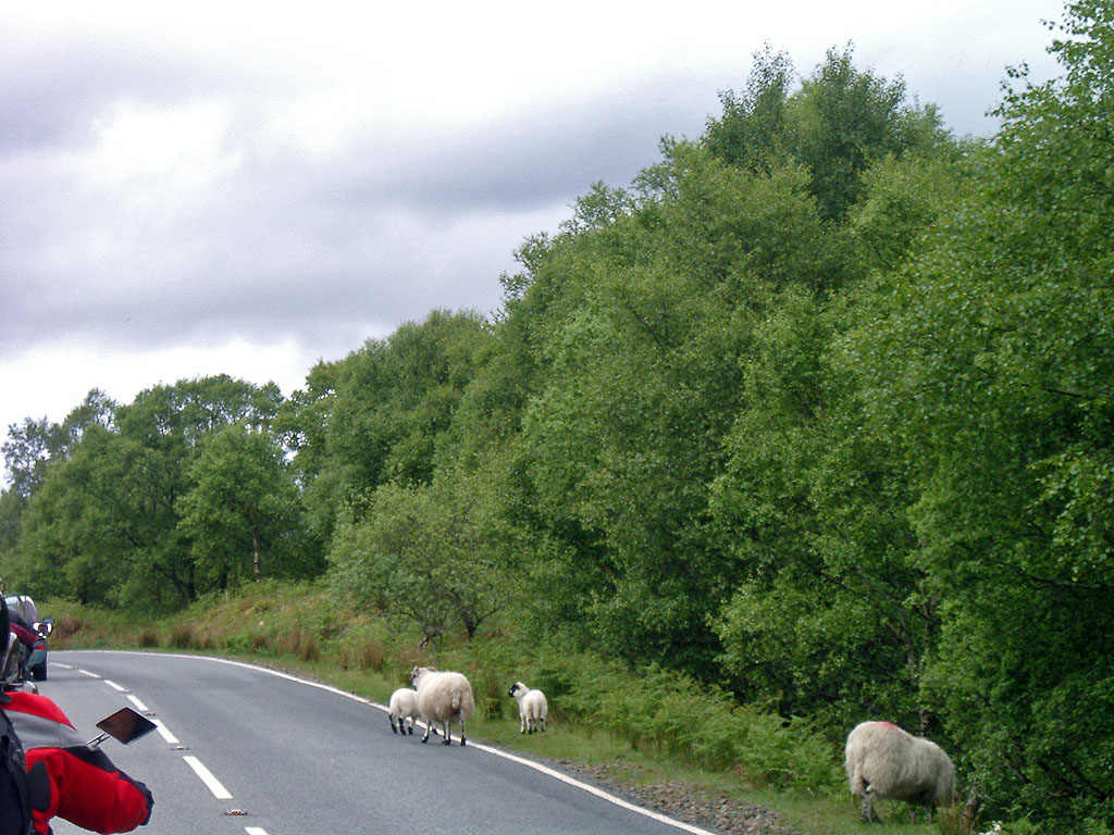 Schafe am Fahrbahnrand